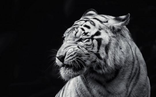 Tigre en Blanco y Negro.