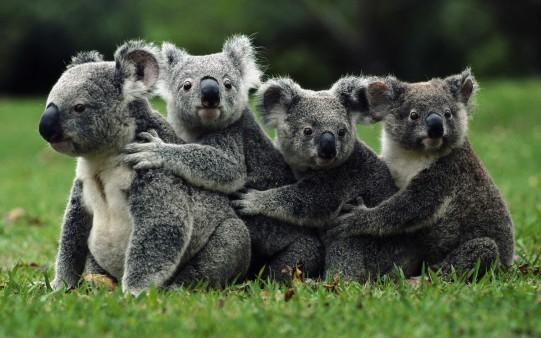 Fondo Escritorio de Koalas