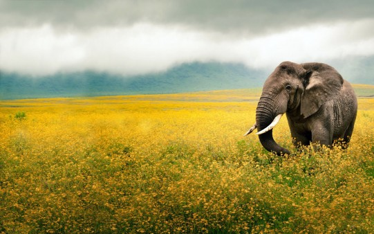 Wallpaper Elefante Paseando