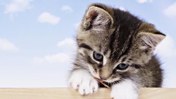 Fondo de Escritorio Gatito